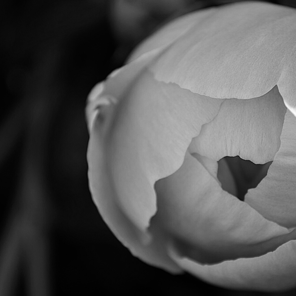 Black and white photo of a peony just starting to bloom. Photo by Reghan Skerry.
