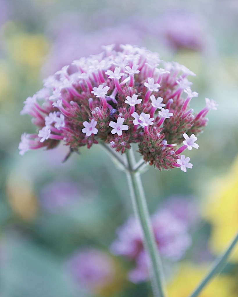 Close-up of pale purple flowers. Photo by Reghan Skerry.