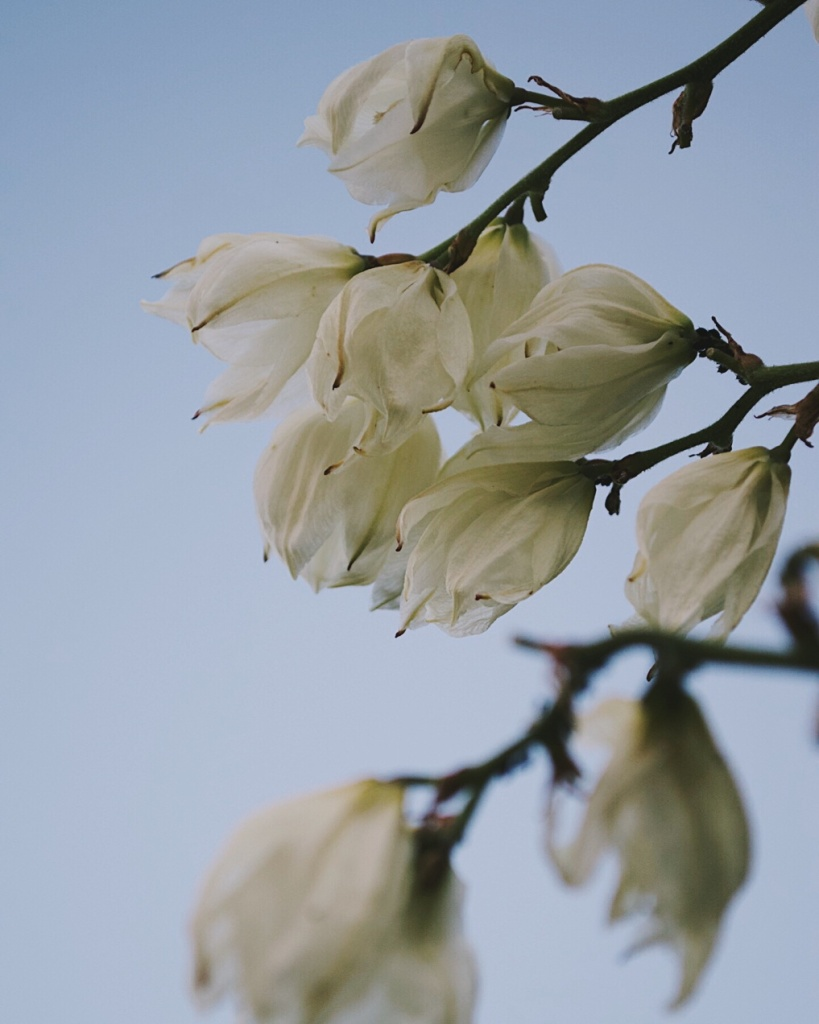 White flowers with browning petals in front of a pale blue sky. Photo by Reghan Skerry.