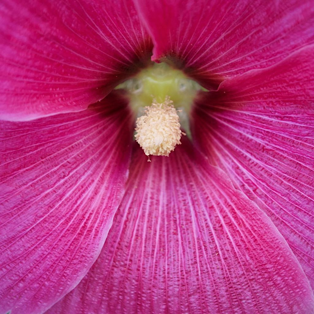 Centre of a bright pink flower. Photo by Reghan Skerry.