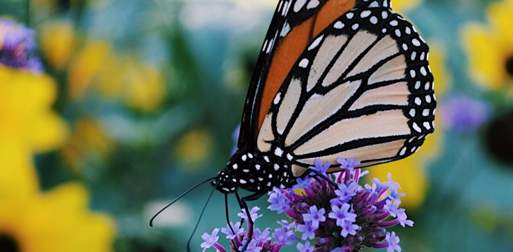 Monarch butterfly on a purple flower. Photo by Reghan Skerry.