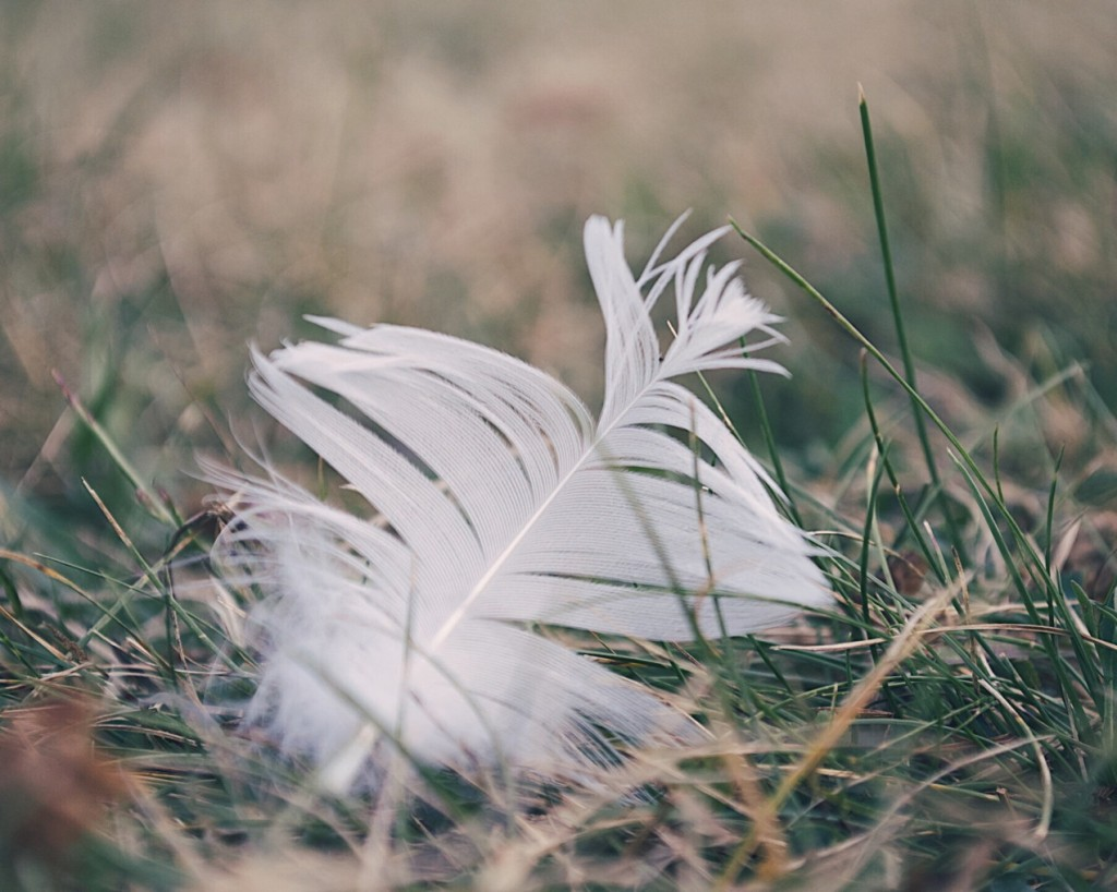 Close-up of a white feather in the grass. Photo by Reghan Skerry.