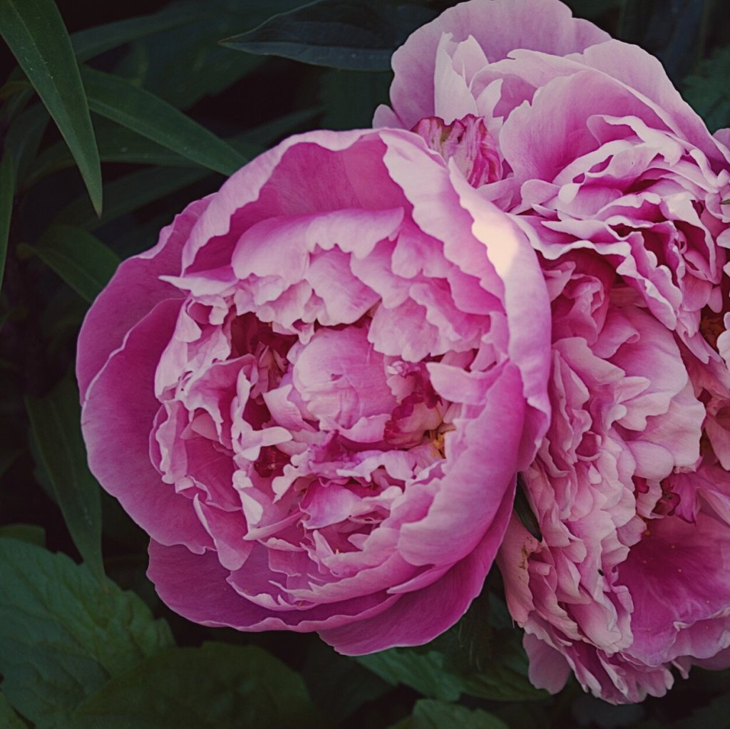Blooming pink peonies. Photo by Reghan Skerry.