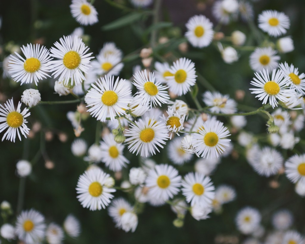 Cluster of tiny daisies. Photo by Reghan Skerry.