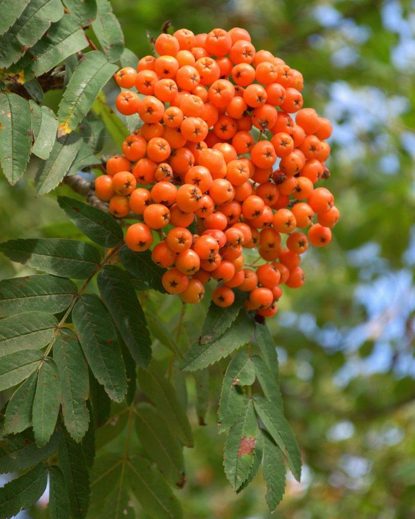 Rowan berries. Photo by Reghan Skerry.