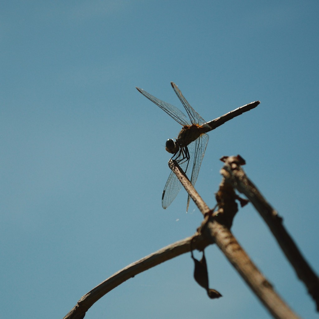 Dragonfly perched on a twig. Photo by Reghan Skerry.