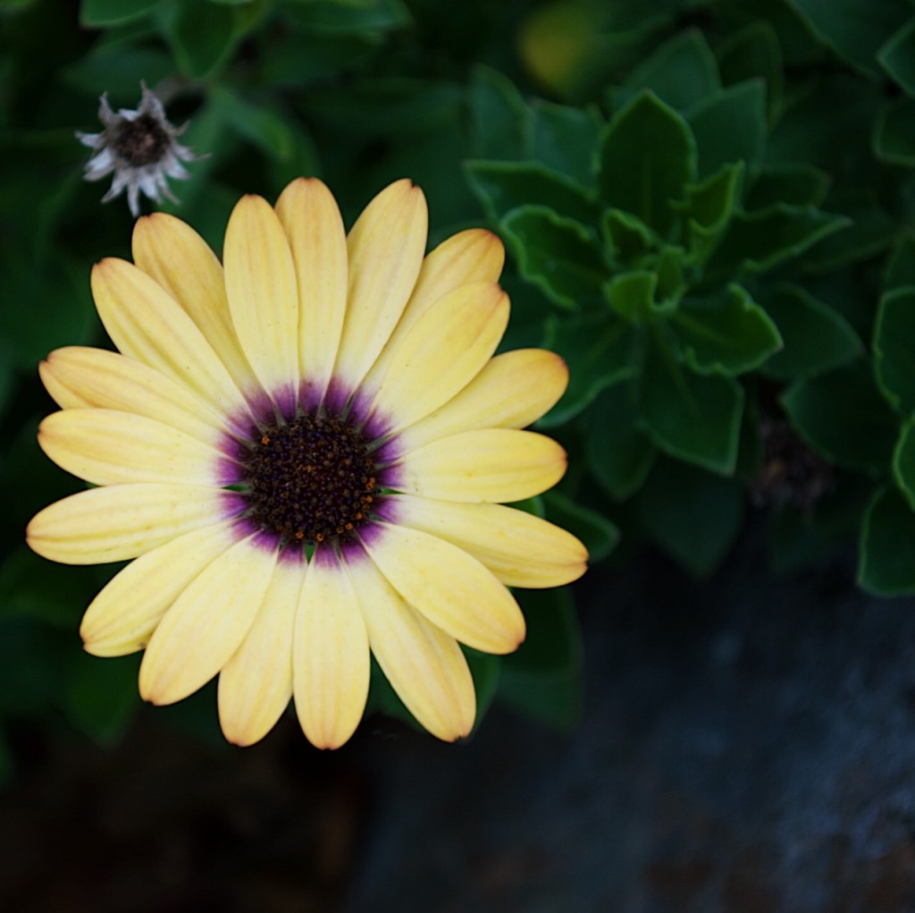 Yellow daisy with purple centre. Photograph by Reghan Skerry.