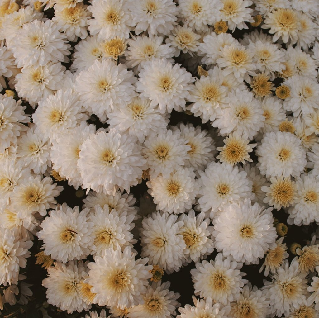 Off-white chrysanthemums. Photograph by Reghan Skerry.