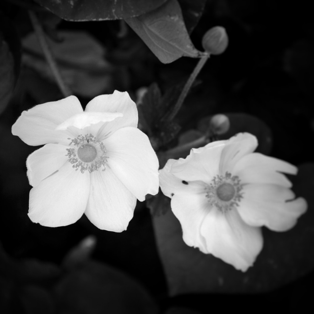 Black and white photo of white flowers. Photo by Reghan Skerry.