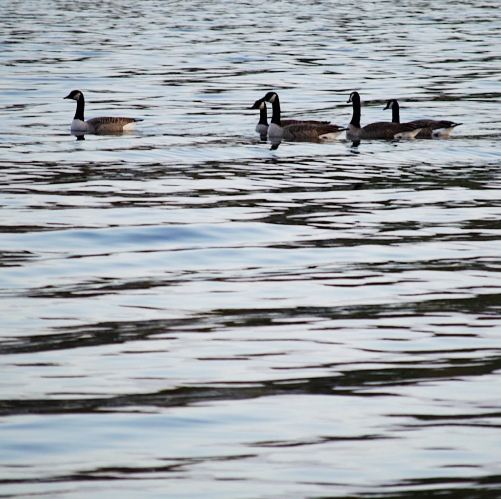 Canada geese swimming in a lake. Photo by Reghan Skerry.