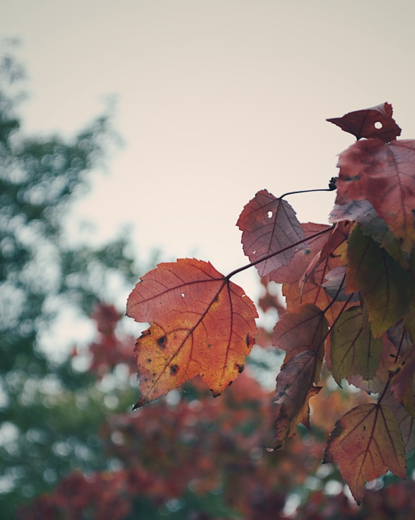 Maple leaves turning red. Photo by Reghan Skerry.
