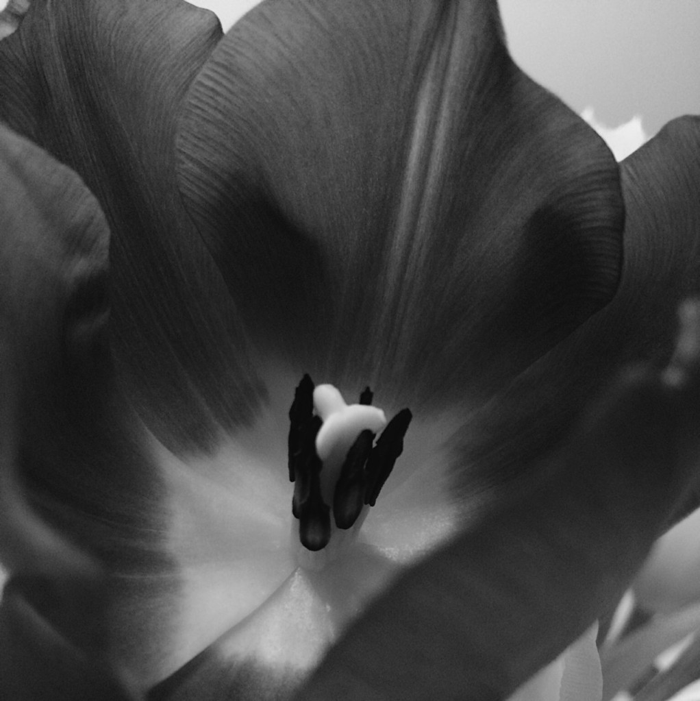 Black and white close-up photo of a tulip. Photo by Reghan Skerry.