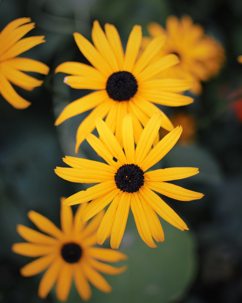 Black-eyed susans. Photo by Reghan Skerry.