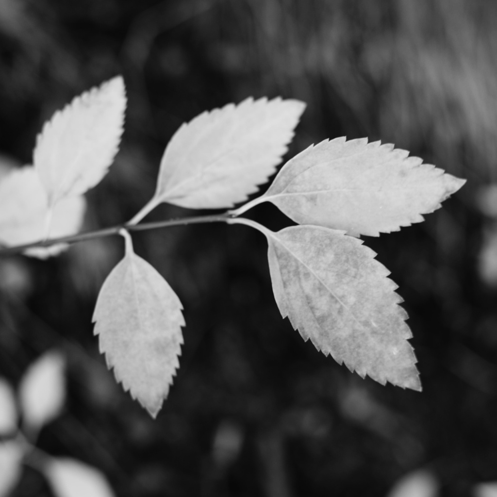 Black and white close-up of leaves. Photo by Reghan Skerry.