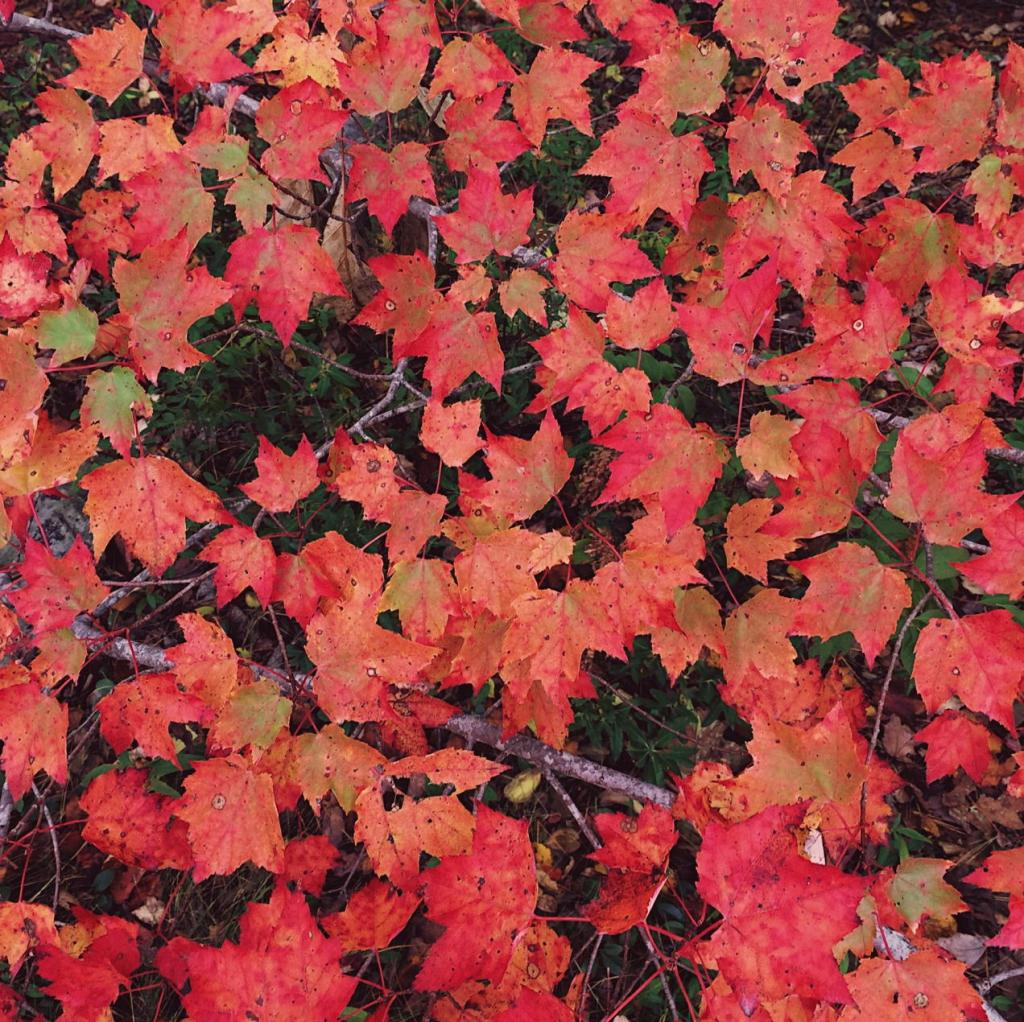 Red maple leaves. Photo by Reghan Skerry.