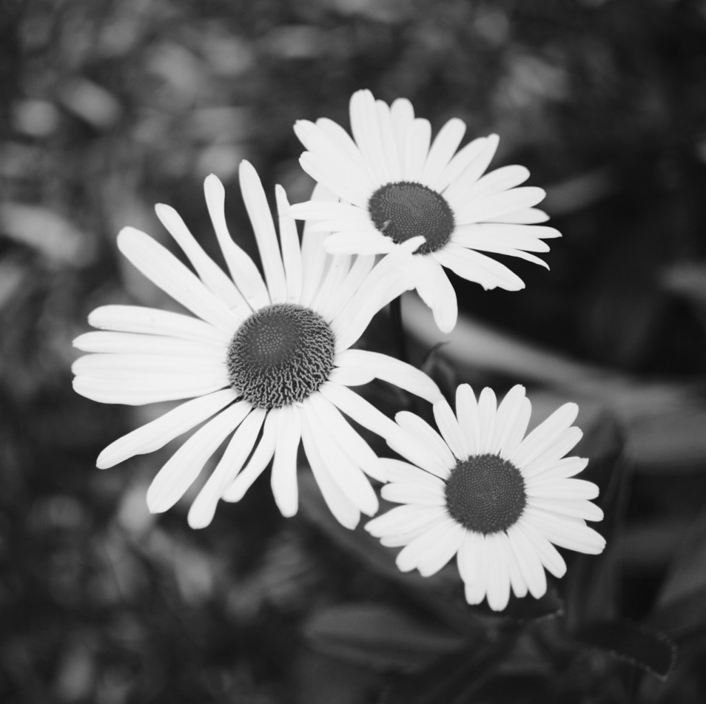 Black and white photo of three daisies. Photo by Reghan Skerry.