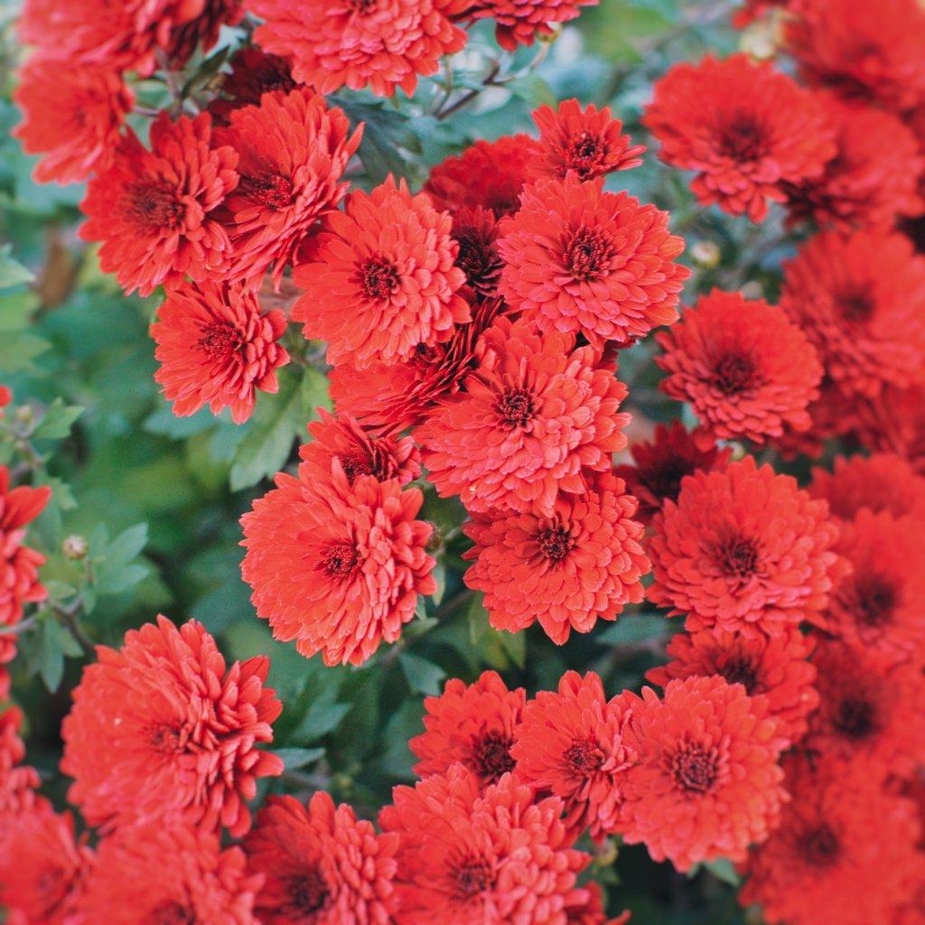 Red chrysanthemums. Photo by Reghan Skerry.