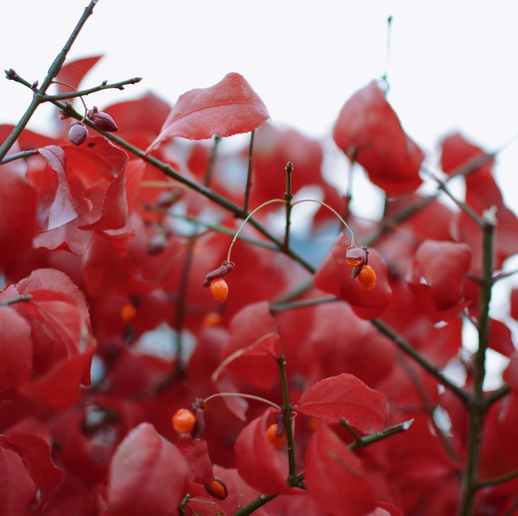 Red leaves. Photo by Reghan Skerry.