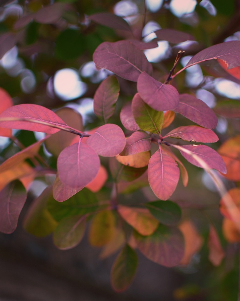 Autumn leaves in shades of purple, pink, and orange. Photo by Reghan Skerry.