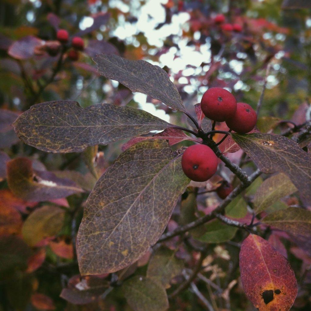 Red berries. Photo by Reghan Skerry.