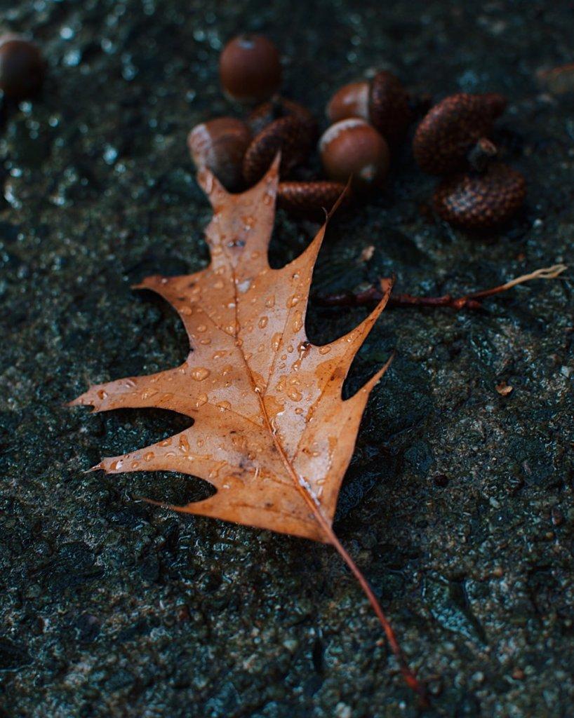 Oak leaf and acorns. Photo by Reghan Skerry.