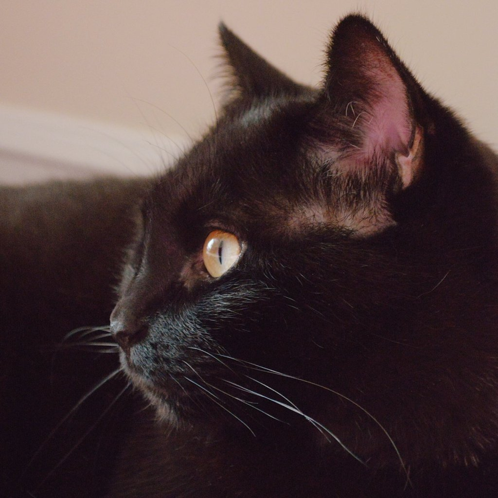 Black cat in profile. Photo by Reghan Skerry.