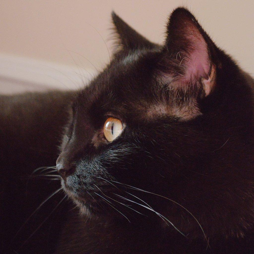 Black cat in profile. Photo by Reghan Skerry.