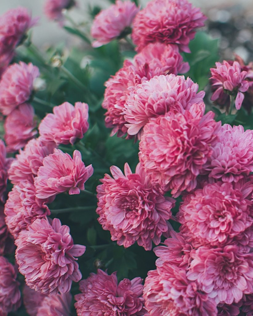 Pink chrysanthemums. Photo by Reghan Skerry.