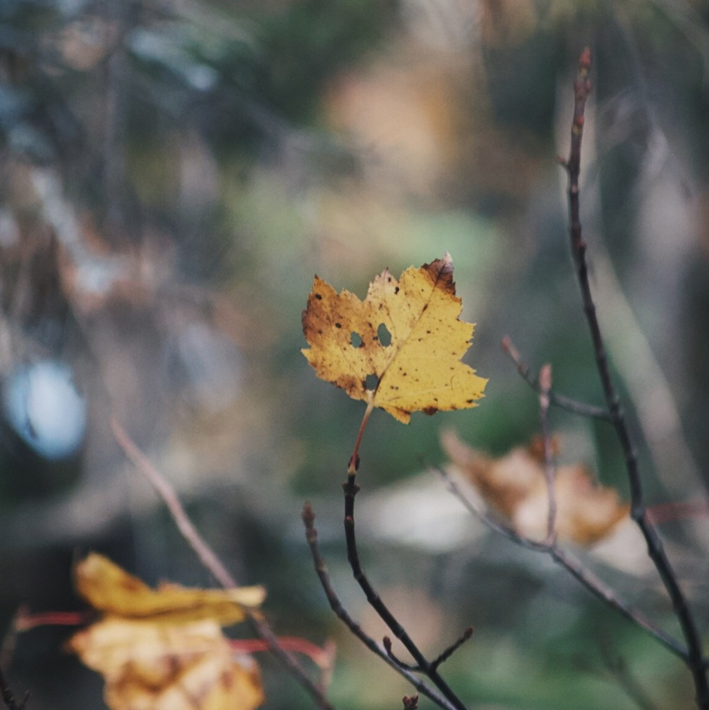 Single yellow maple leaf on a branch. Photo by Reghan Skerry.