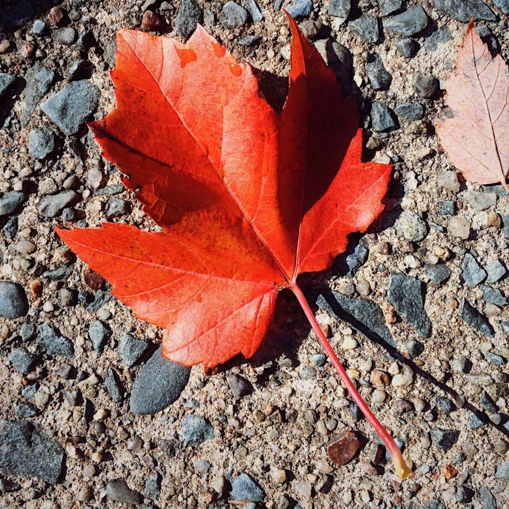 Red maple leaf on concrete. Photo by Reghan Skerry.