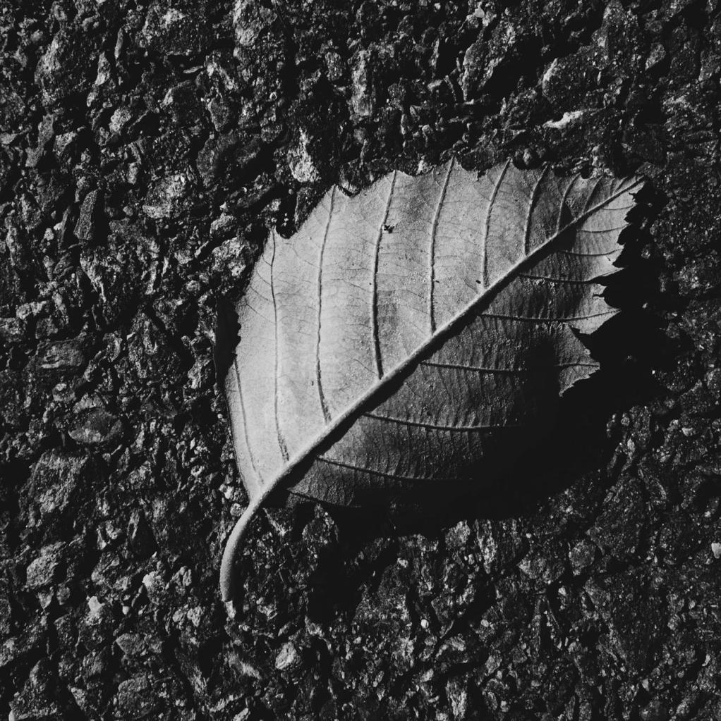 Black and white photo of a fallen leaf. Photo by Reghan Skerry.