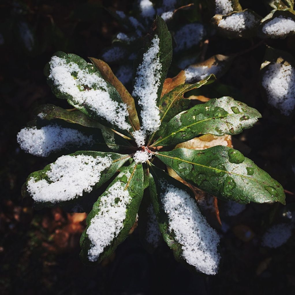 Snow on rhododendron leaves. Photo by Reghan Skerry.