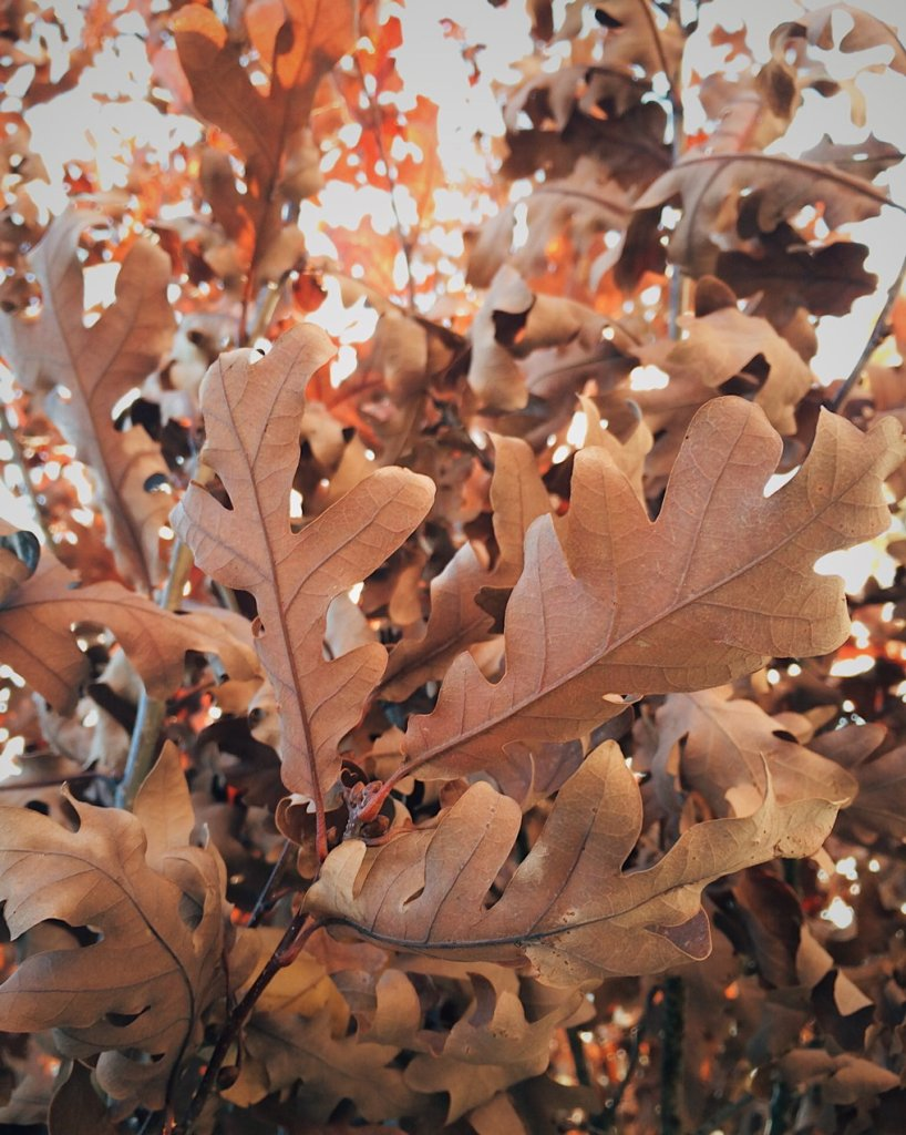 Oak leaves. Photo by Reghan Skerry.