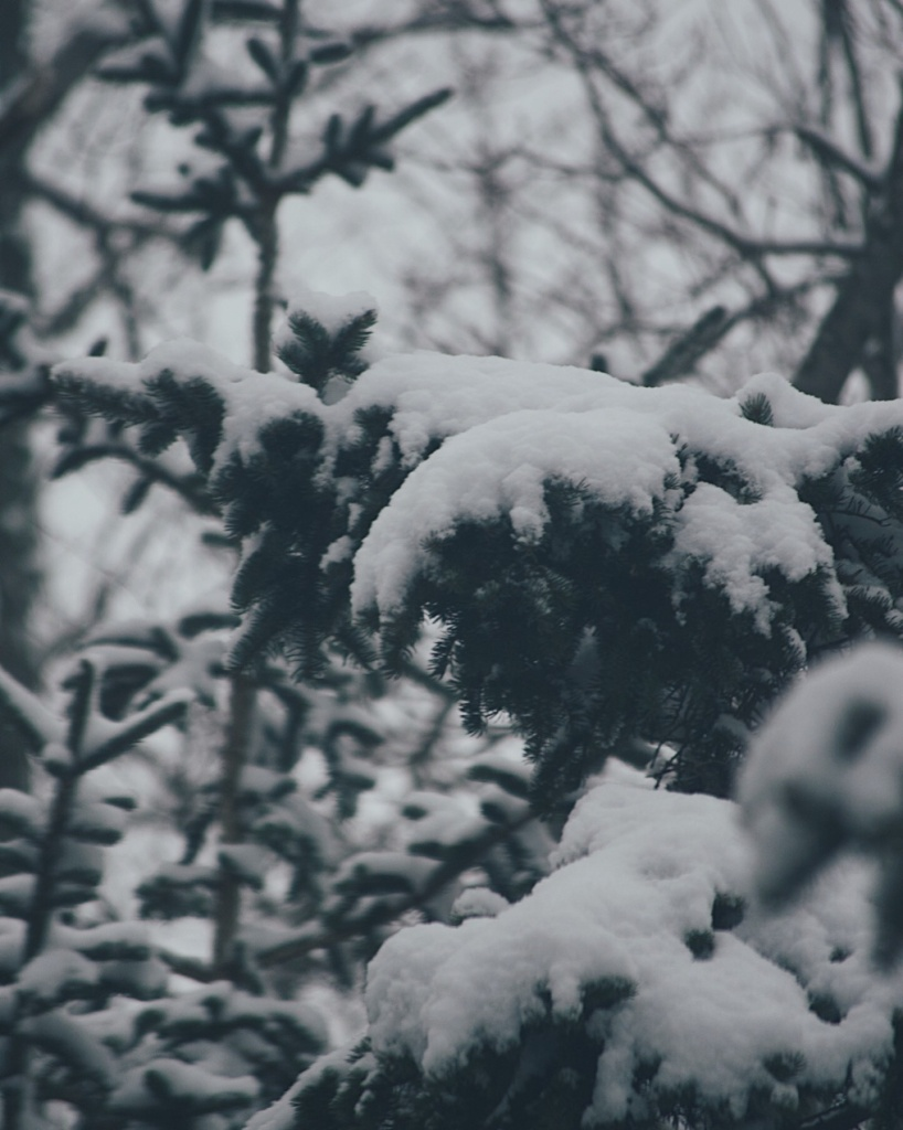 Snow on evergreen branches. Photo by Reghan Skerry.