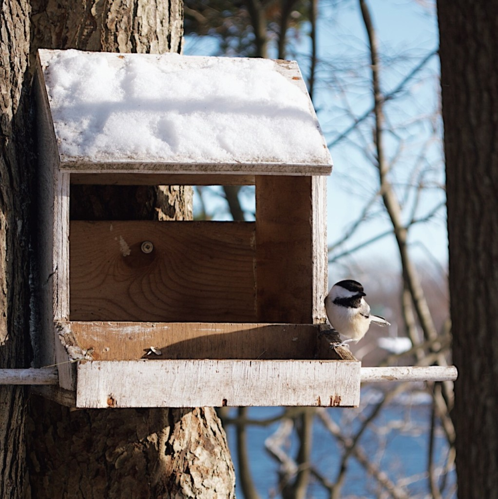 Chickadee at a snow-covered birdfeeder. Photo by Reghan Skerry.