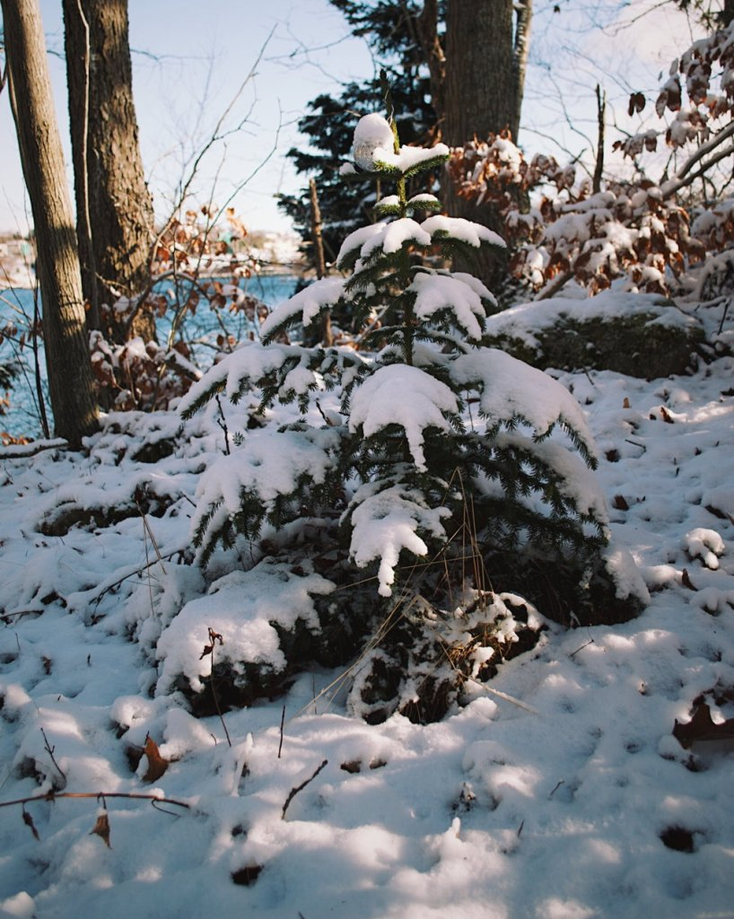 Small evergreen tree covered in snow. Photo by Reghan Skerry.