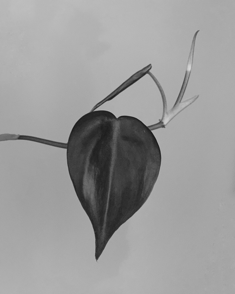 Black and white photo of a houseplant leaf. Photo by Reghan Skerry.