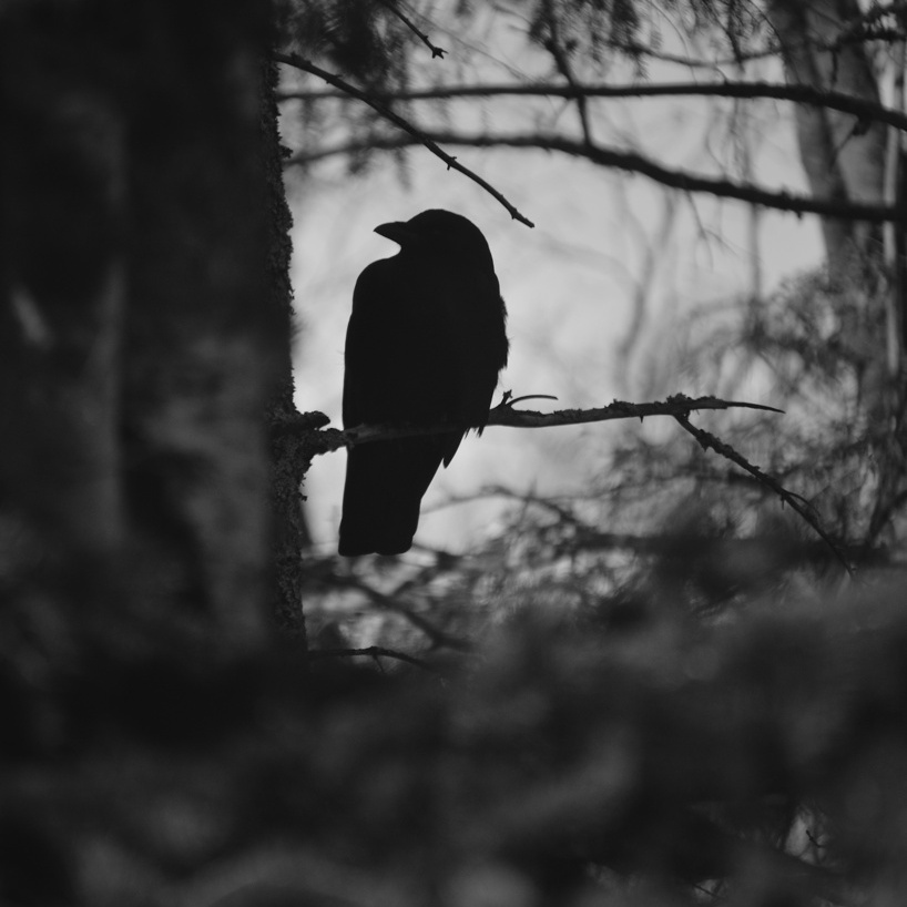 Black and white photo of a crow sitting on a branch. Photo by Reghan Skerry.
