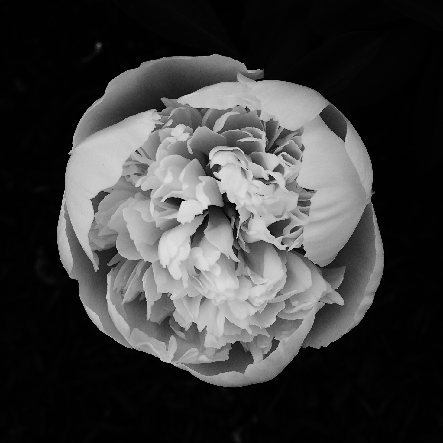 Black and white photo of a peony. Photo by Reghan Skerry.
